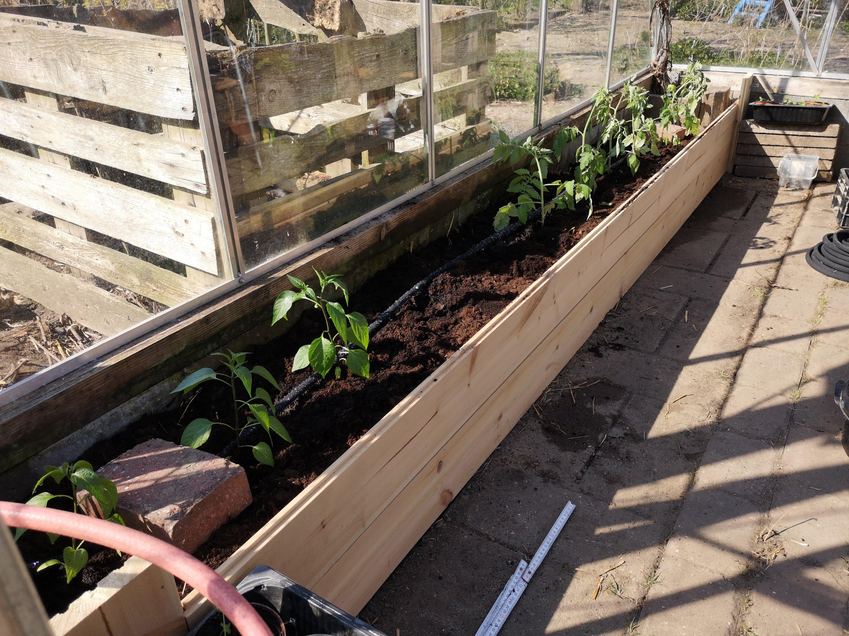 Tomater og Chile i drivhuset